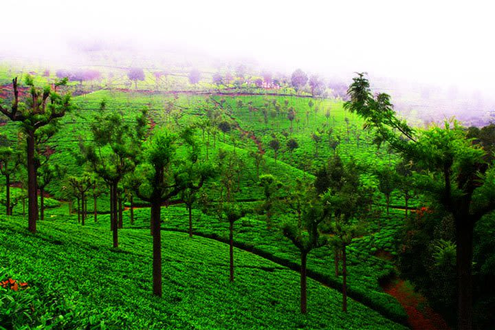 Highfield Tea Estate Coonoor