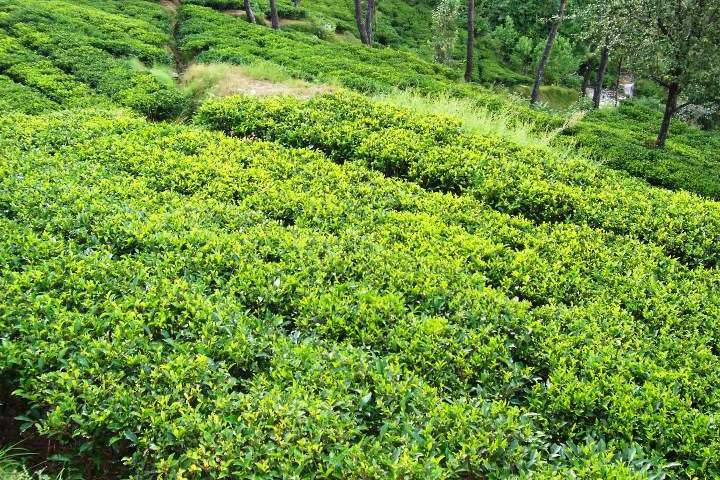 Kasauni Tea Estate