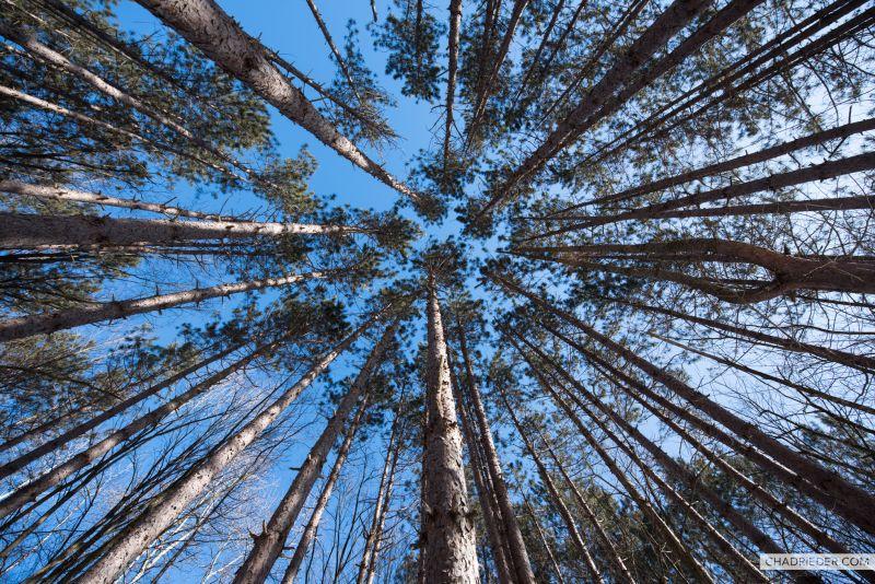Pine Trees Sky