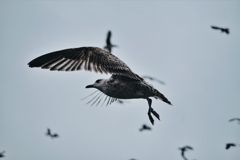 A seagull flying in a flock