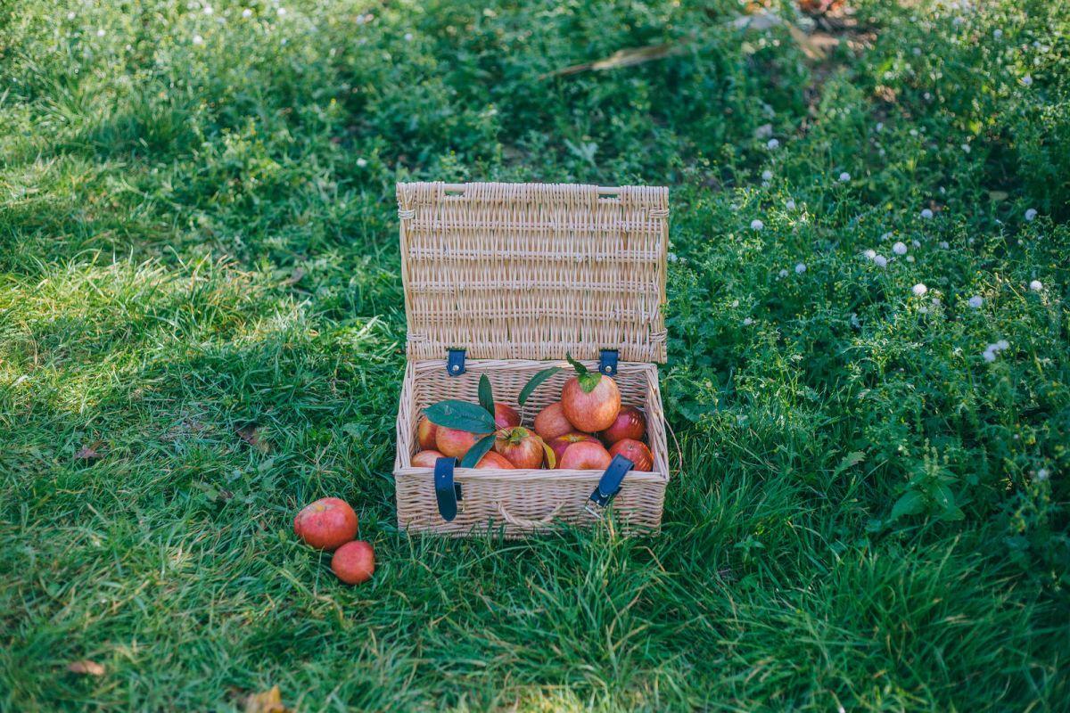 Apple Picking in Kent
