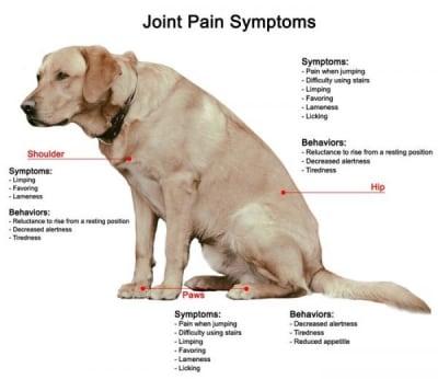 Soulager et traiter l' arthrite de son chien : quelles solutions alternatives  efficaces ?
