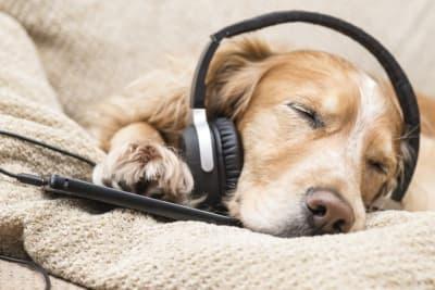 Vous voulez un animal de compagnie plutôt calme ? Un chien qui n'aboiera pas comme un fou sur tout ce qui passe ? Qui ne voudra pas jouer en permanence?
