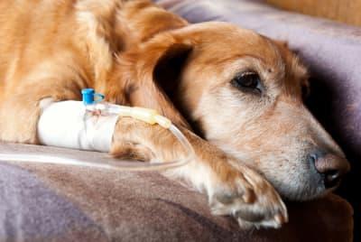 Peut on protéger son chien du cancer ?