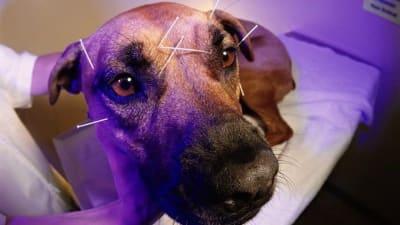 Acupuncture/ acupression pour chien : mode ou réelle thérapie ?