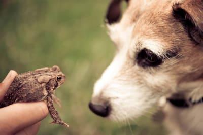 Le saviez-vous ? Les toxines libérées par les crapauds peuvent rendre votre chien aveugle, voire le tuer ! En effet, un petit chien peut rapidement mourir après avoir mordu un crapaud pour jouer. L'animal en effet libére une toxine quand il est en danger. Il faut donc agir rapidement. En cas d'intoxication présumée due au venin de crapaud, les minutes comptent. Alors, s'il vous plaît, allez immédiatement avec votre chien chez le vétérinaire et rincez la bouche, les gencives, les dents et la langue de votre animal pendant le trajet..