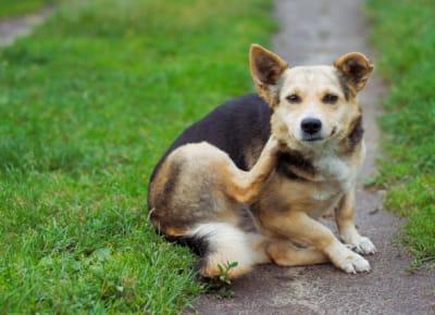 Votre animal a des démangeaisons, une inflammation de la peau, des otites récurrentes, des demangeaisons des oreilles, des pattes et du visage Il est temps de passer à l'action.