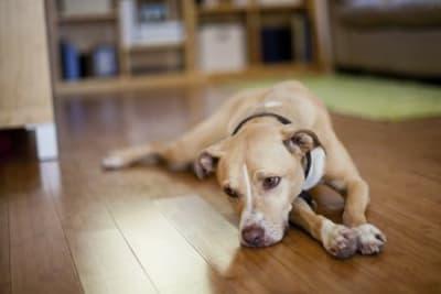 Les chiens sont comme leurs humains : ils peuvent se sentir mal ou dépressifs