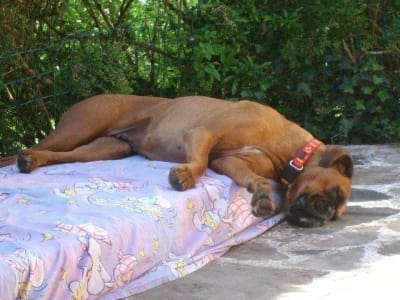 Fatigue du chien: quand doit-on consulter?