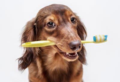 Il ne nous viendrait pas à l'idée de rester sans nous laver les dents, les cheveux ou sans nous doucher...De la même manière, il est indispensable d'assurer une hygiène parfaite à notre loulou.