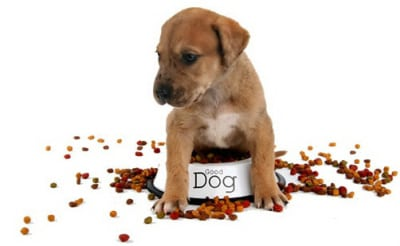 Pourquoi votre chien ne mange pas: 8 raisons majeures