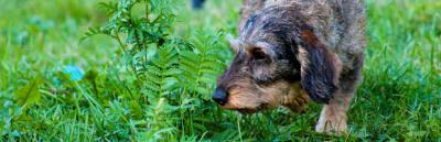 Quelles plantes sont toxiques pour mon chien ? ?
