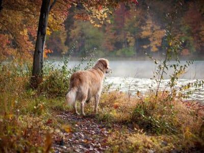 Pourquoi les chiens perdent leurs poils à l'automne?