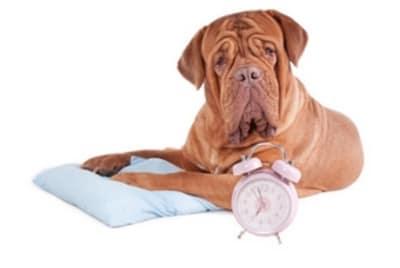 Il est indispensable de vermifuger son animal régulièrement pour son confort. En effet, un chien infesté de parasites sera excité et nerveux. D'autre part, la contamination parasitaire peut être particulièrement dangereuse pour l'homme et l'animal.