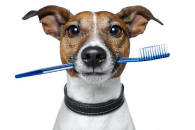 Puisque c'est aujourd'hui la Saint Valentin, offrez un beau cadeau à votre chien ( ce sera aussi valable le reste de l'année). Pensez à faire vérifier ses dents. En effet, comme l'humain, le tartre se dépose sur la dentition canine ( extrêmement importante pour son confort), les bactéries se développent. Résultat? L'haleine de votre loulou est un peu chargée. Ce n'est pas le plus grave!
