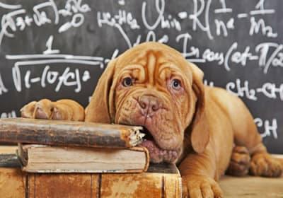 Un test de QI pour chiens a été développé par des scientifiques. Ils prétendent que cela pourrait ouvrir la voie à des avancées énormes dans le domaine suivant. Quel lien existe entre intelligence, santé et longévité?