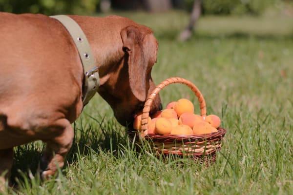 """Résultat de recherche d'images pour """"abricot dog"""""""