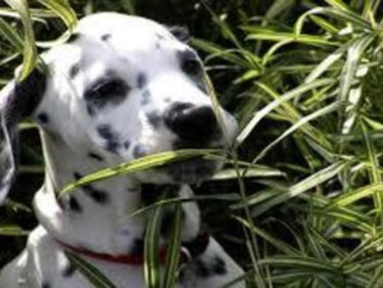 Pourquoi votre chien mange de l'herbe