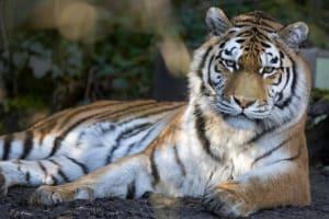 Tigerdame Irina posiert im Zoo Zürich.