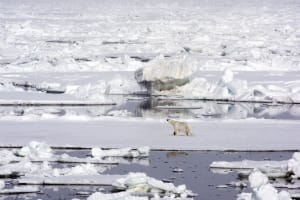 Polar Bears near the North Pole