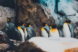 Die Königspinguine zeichnen sich durch ihr elegantes erscheinen in ihrem Frack.