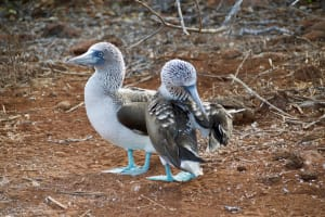 Das Bild zeigt zwei spezifische Vögel auf den Galapagos Inseln, wo Charles Darwin durch seinen Evolutionstheorie noch sehr bekannt ist.