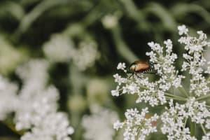 Das Bild zeigt einen Japankäfer auf einer Pflanze