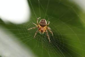 Eine giftige Spinne im eigenen Gewebe