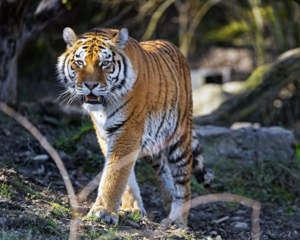 Irina the tiger exploring her enclosure at the Zurich zoo
