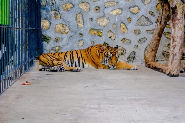 A tiger laying in a metal cage with a concrete floor