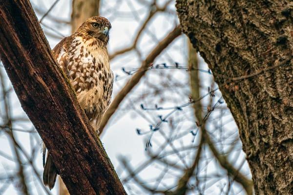 Ein Falke späht nach Essen von einem Baum