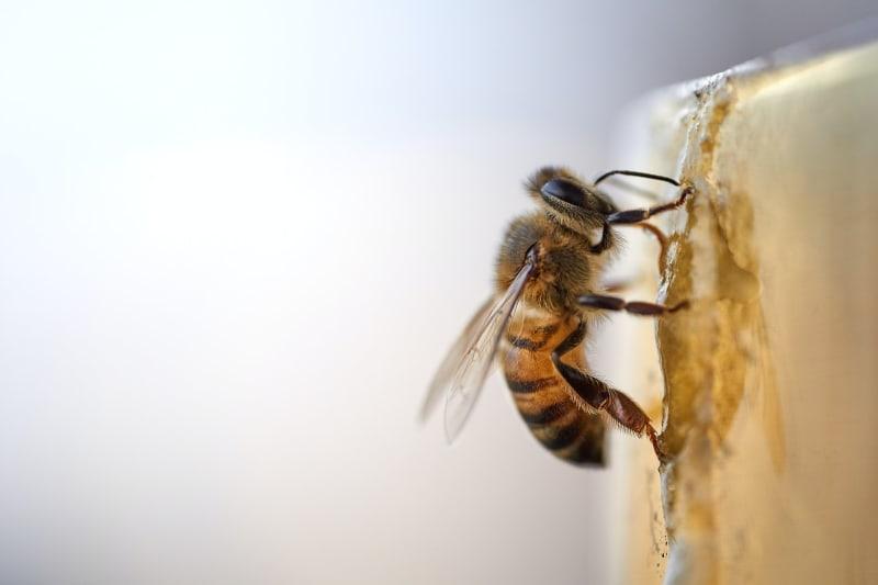 Eine Biene die gerade Honig herstellt.