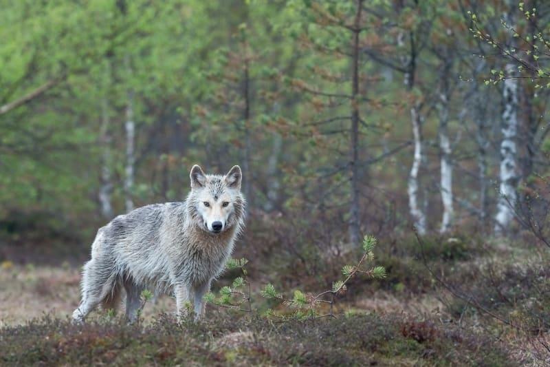 Das Bild zeigt einen Wolf im Wald