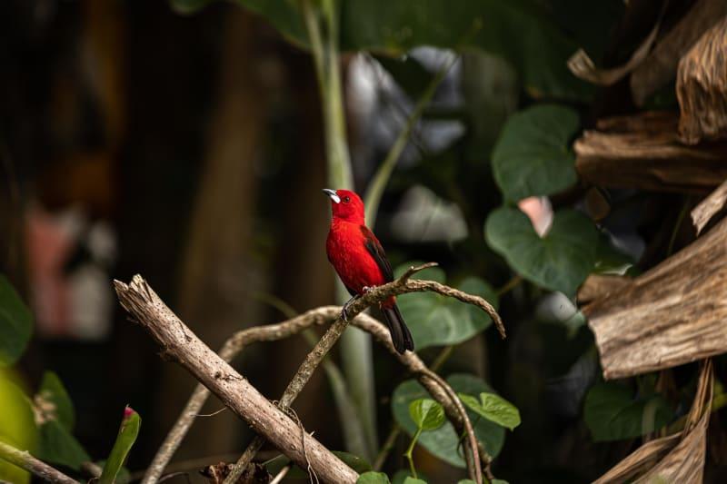 Ein Papagai im Amazonas Gebiet