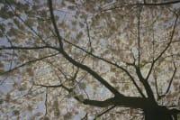 Spanndecken Baum mit weißen Blüten