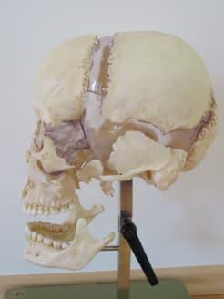 Craniosacral Healing Ausbildung Seminar - Modell eines menschlichen Schädels