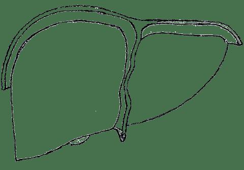 biodynamische Cranio-Sacral-Therapie Fortbildungskurse Viszeralkurs Leber