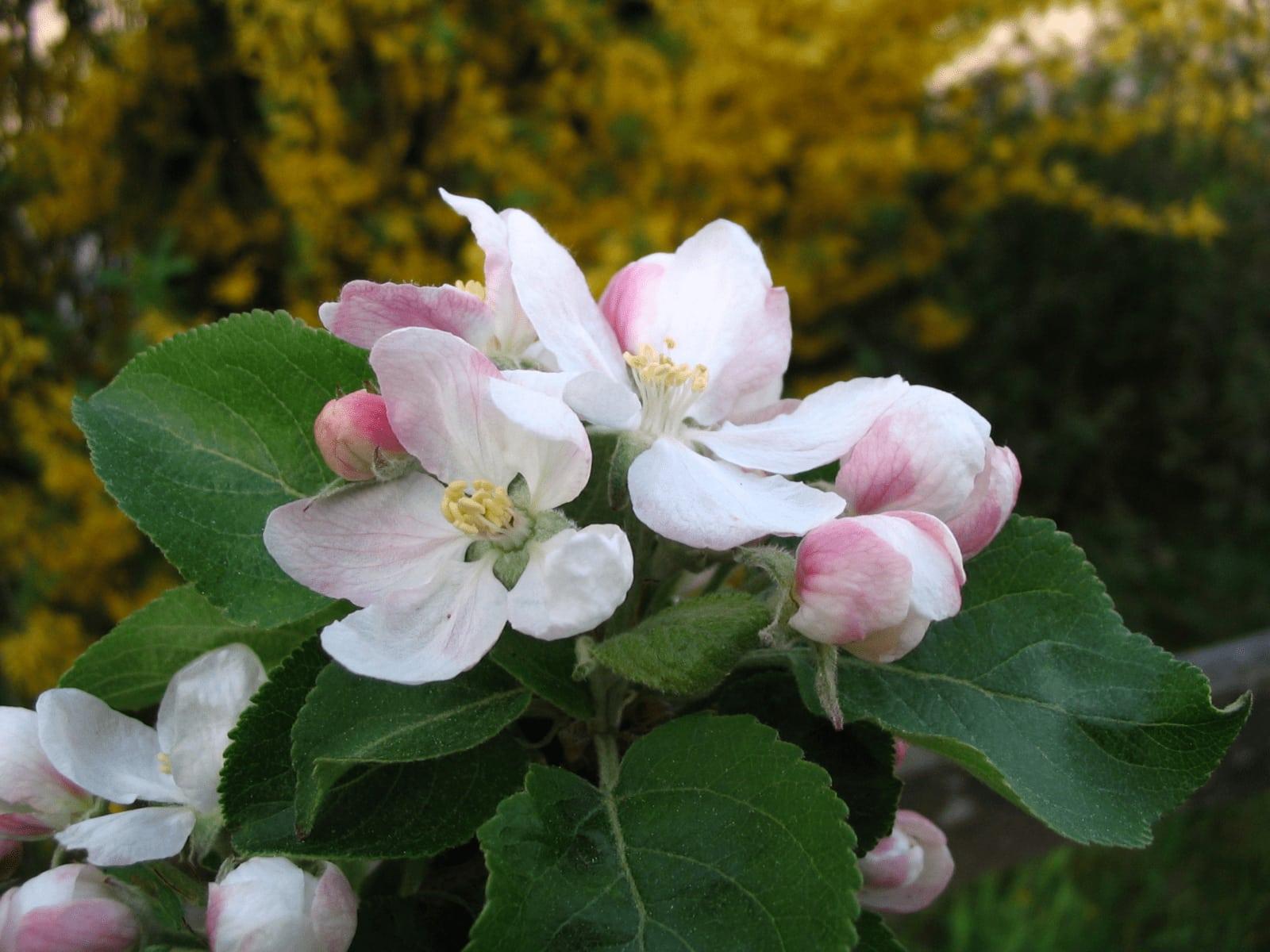 Craniosacral Heilmethode Ausbildung + Kurse Vöckelsbach Apfelblüte