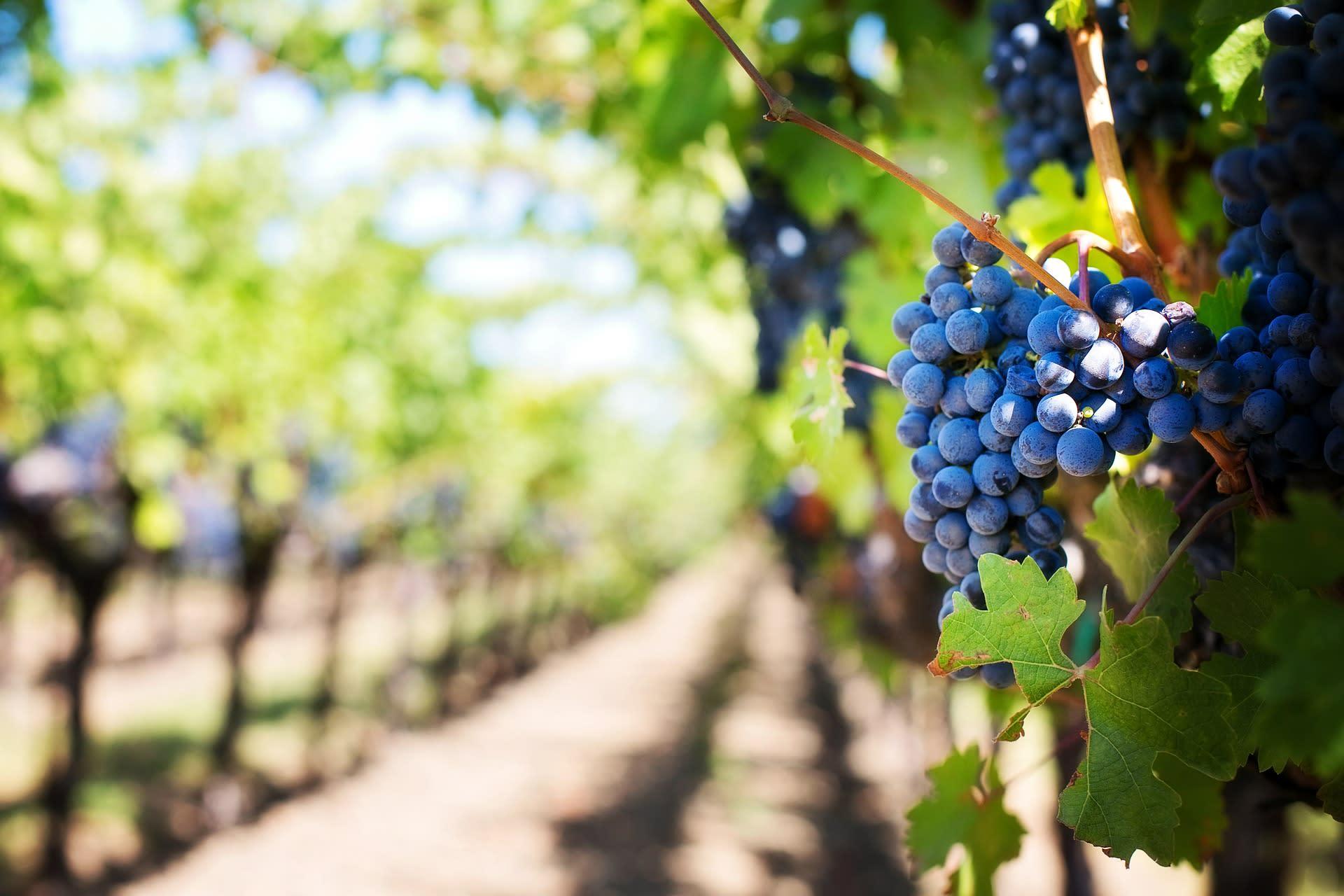 Weinberg mit Weintrauben
