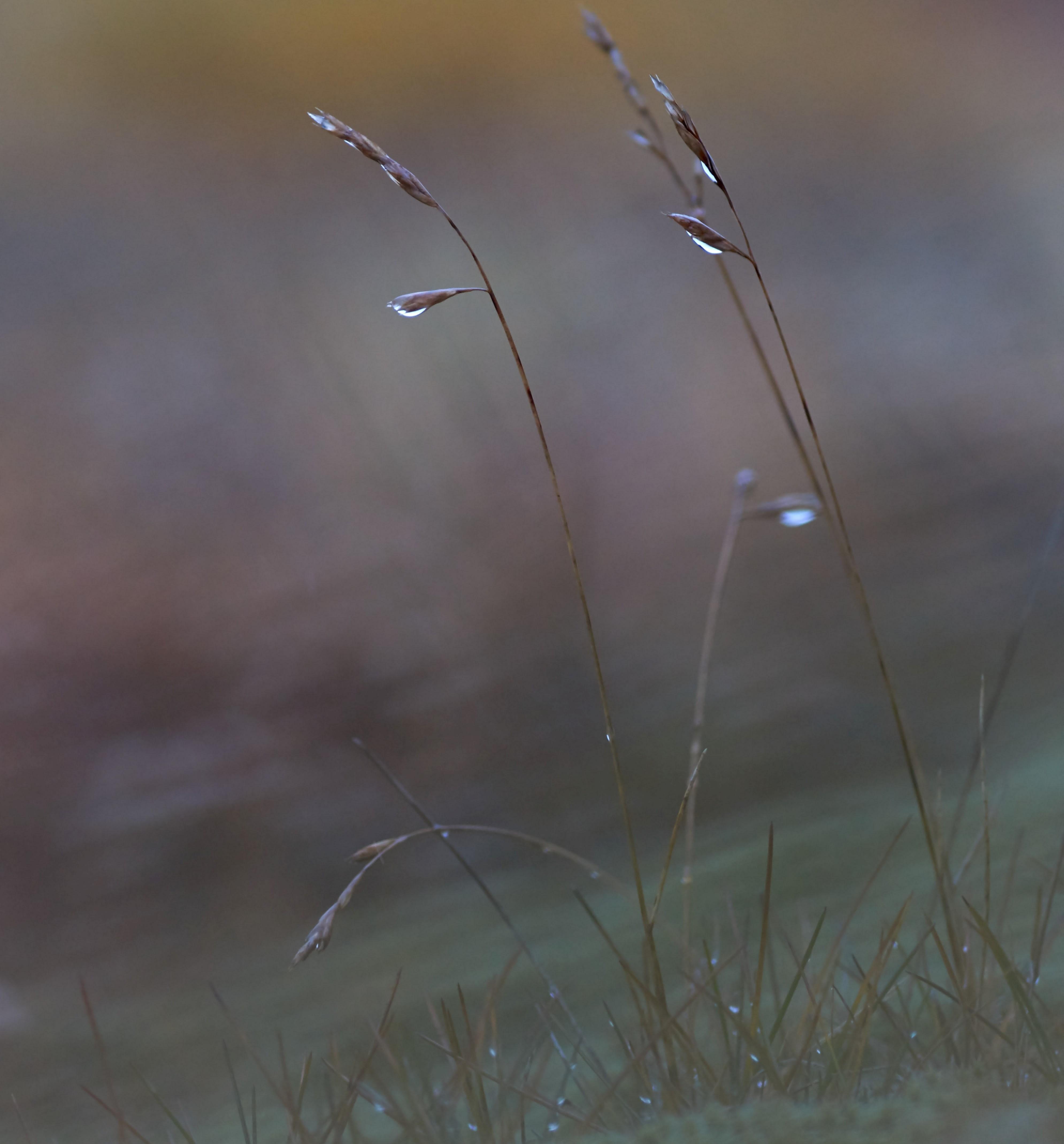 Grässer mit Regentropfen bedeckt