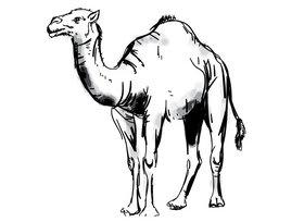 Kamel Zeichnung