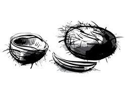 Kokosnuss Zeichnung
