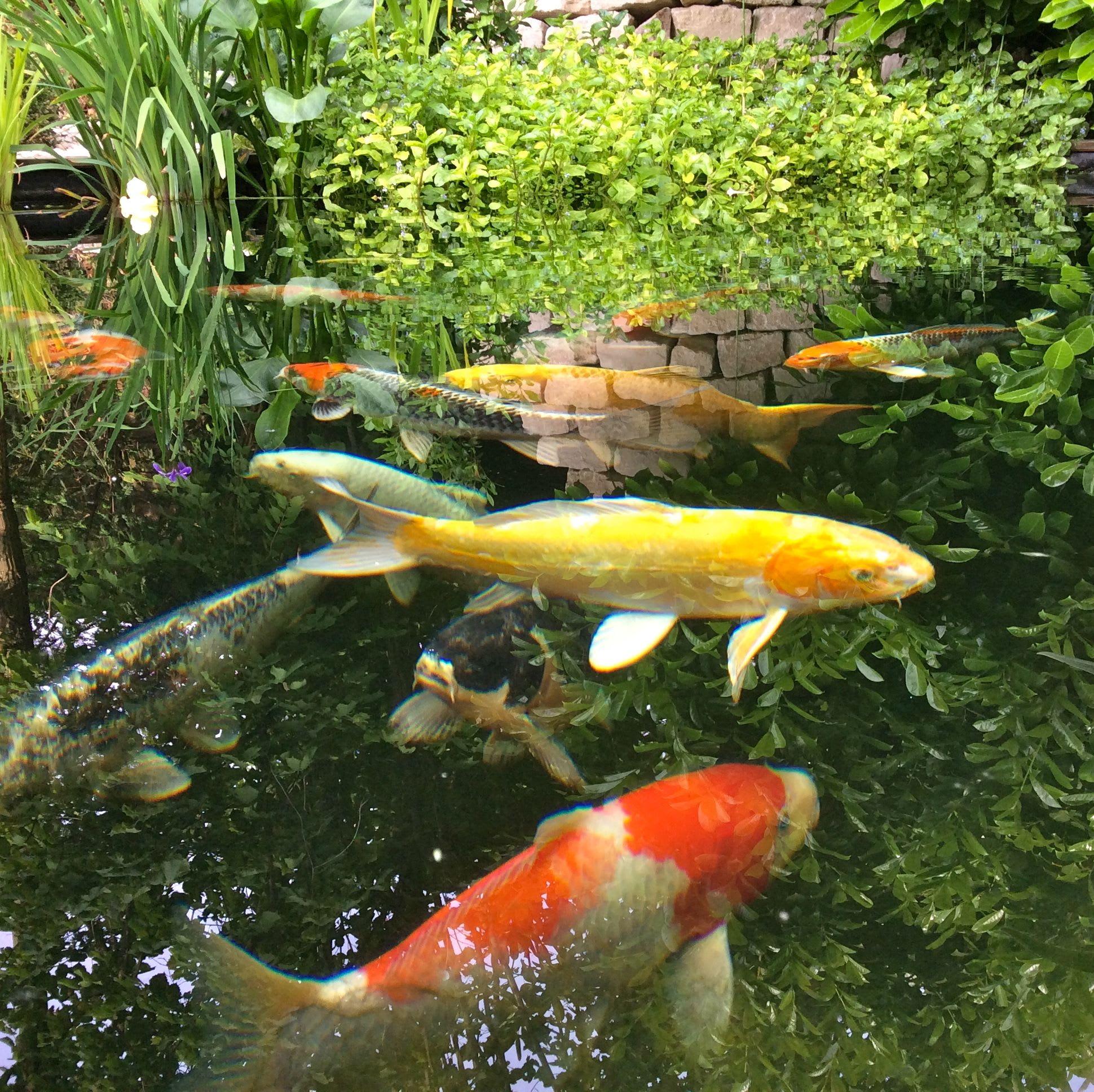 Wasser im Garten Fisch