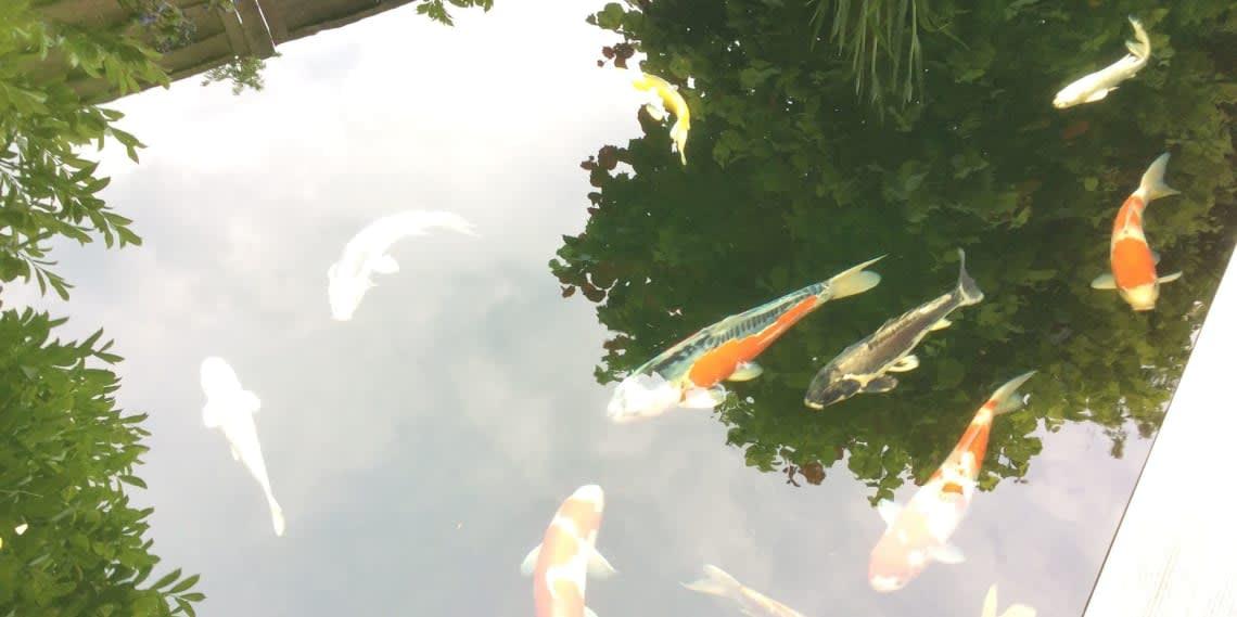 Teich mit Koi Fisch
