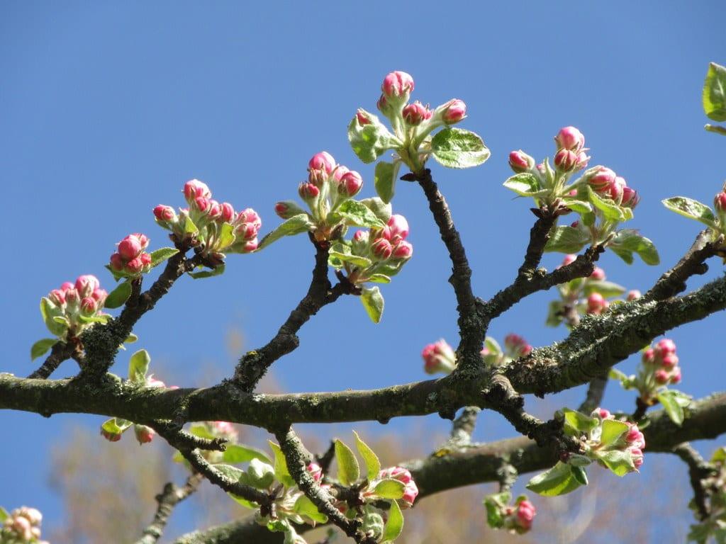 Apfelblüten geschlossen