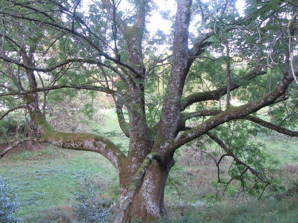 Verbandsbaum