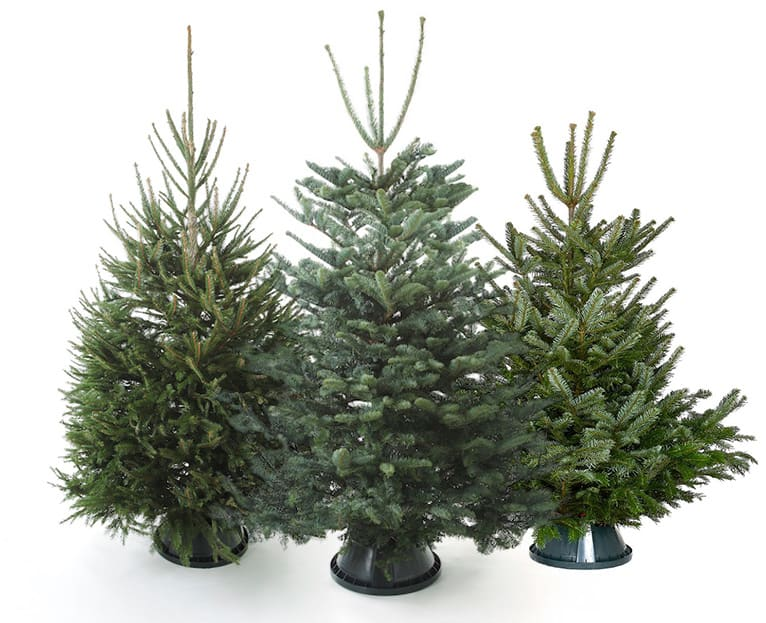 Buy Real Christmas Trees For Delivery In London
