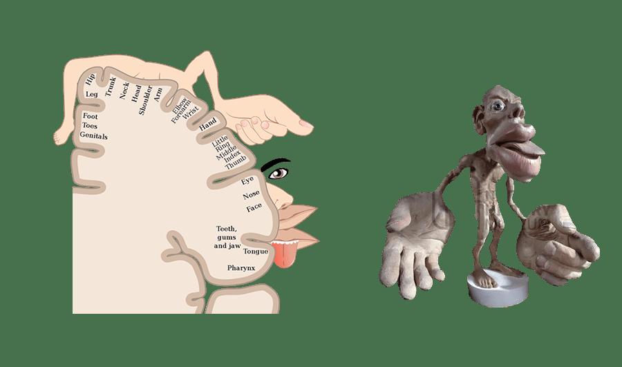 representación del homunculus