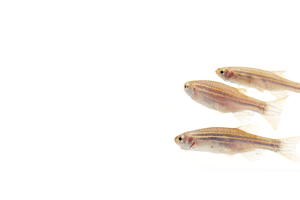 Three zebrafish danio rerio swimming