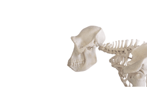 primate skeleton for research